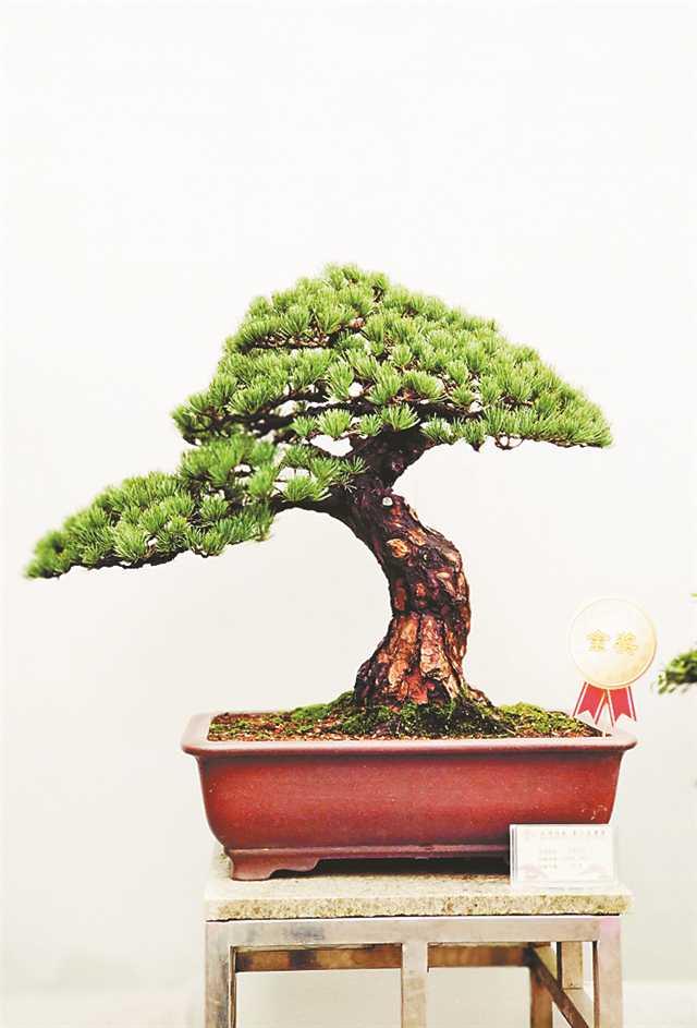 重庆庭院盆栽风景树