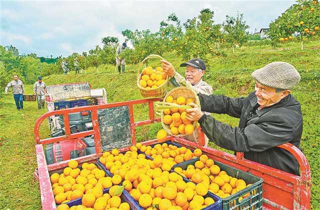 柑橘枝头俏果农数钱笑